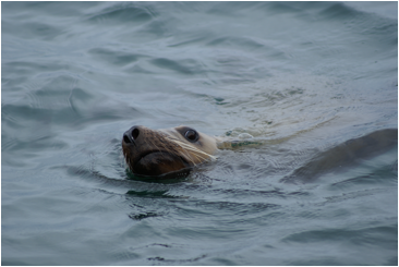 Stellar Sea Lion on Skagway Alaska Wildlife Cruise