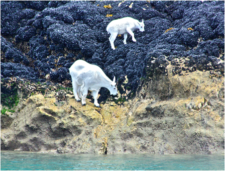 Mountain Goats on Skagway Wildlife Cruise