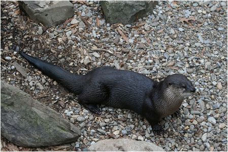 River Otter on Skagway Shore Excursion